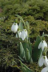 Common Snowdrop (Galanthus nivalis) at Shelmerdine Garden Center