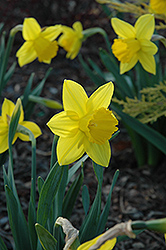 Arctic Gold Daffodil (Narcissus 'Arctic Gold') at Shelmerdine Garden Center
