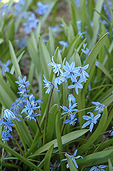 Spring Squills (Scilla sibirica) at Shelmerdine Garden Center