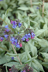 Cotton Cool Lungwort (Pulmonaria 'Cotton Cool') at Shelmerdine Garden Center