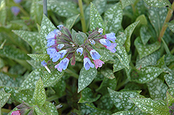 Janet Fisk Lungwort (Pulmonaria 'Janet Fisk') at Shelmerdine Garden Center