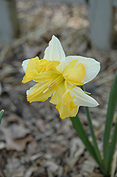 Buff Belle Daffodil (Narcissus 'Buff Belle') at Shelmerdine Garden Center