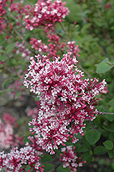Tinkerbelle Lilac (Syringa 'Tinkerbelle') at Shelmerdine Garden Center