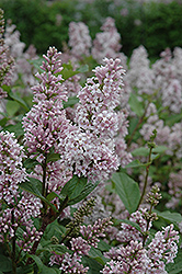 Coral Lilac (Syringa x prestoniae 'Coral') at Shelmerdine Garden Center