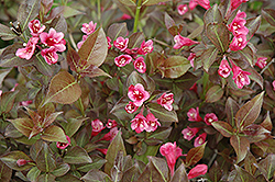 Tango Weigela (Weigela florida 'Tango') at Shelmerdine Garden Center