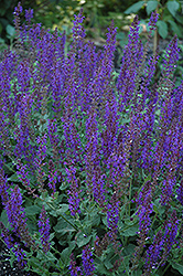 May Night Sage (Salvia x sylvestris 'May Night') at Shelmerdine Garden Center