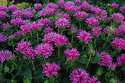 Petite Delight Beebalm (Monarda 'Petite Delight') at Shelmerdine Garden Center