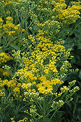 Stiff Goldenrod (Solidago rigida) at Shelmerdine Garden Center