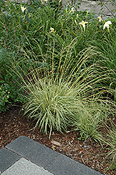 Variegated Moor Grass (Molinia caerulea 'Variegata') at Shelmerdine Garden Center