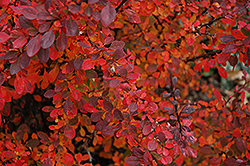 Rose Glow Japanese Barberry (Berberis thunbergii 'Rose Glow') at Shelmerdine Garden Center