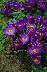 Flower Record Crocus (Crocus 'Flower Record') at Shelmerdine Garden Center