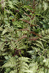 Japanese Painted Fern (Athyrium nipponicum 'Metallicum') at Shelmerdine Garden Center