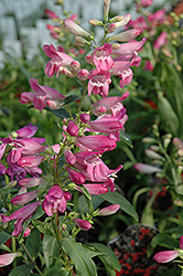 Dwarf Rondo Mix Beard Tongue (Penstemon 'Nana Rondo Mix') at Shelmerdine Garden Center