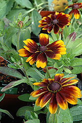 Cordoba Coneflower (Rudbeckia hirta 'Cordoba') at Shelmerdine Garden Center