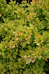 Sunsation Japanese Barberry (Berberis thunbergii 'Sunsation') at Shelmerdine Garden Center