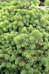 Little Gem Spruce (Picea abies 'Little Gem') at Shelmerdine Garden Center