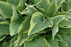 Sundance Hosta (Hosta 'Sundance') at Shelmerdine Garden Center