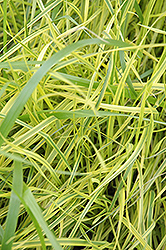 Variegated Palm Sedge (Carex muskingumensis 'Oehme') at Shelmerdine Garden Center