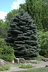 Fat Albert Blue Spruce (Picea pungens 'Fat Albert') at Shelmerdine Garden Center