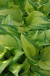 On Stage Hosta (Hosta 'On Stage') at Shelmerdine Garden Center
