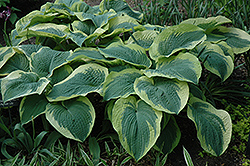 Northern Exposure Hosta (Hosta 'Northern Exposure') at Shelmerdine Garden Center