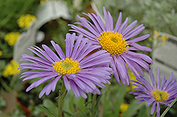 Goliath Alpine Aster (Aster alpinus 'Goliath') at Shelmerdine Garden Center