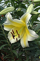 Conca D'Or Lily (Lilium 'Conca D'Or') at Shelmerdine Garden Center
