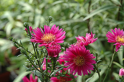 Jenny Aster (Aster novi-belgii 'Jenny') at Shelmerdine Garden Center