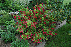 Red Prince Weigela (Weigela florida 'Red Prince') at Shelmerdine Garden Center