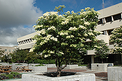 Ivory Silk Japanese Tree Lilac (Syringa reticulata 'Ivory Silk') at Shelmerdine Garden Center