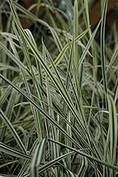 Variegated Oat Grass (Arrhenatherum elatum 'Variegatum') at Shelmerdine Garden Center
