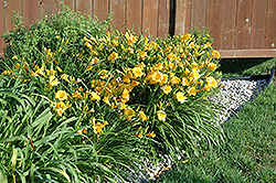 Stella de Oro Daylily (Hemerocallis 'Stella de Oro') at Shelmerdine Garden Center