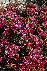 Dragon's Blood Stonecrop (Sedum spurium) at Shelmerdine Garden Center