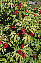 Red-Berried Elder (Sambucus racemosa) at Shelmerdine Garden Center