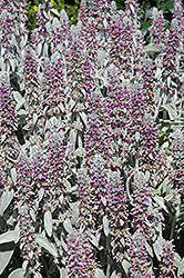 Lamb's Ears (Stachys byzantina) at Shelmerdine Garden Center