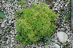 Dwarf Goatsbeard (Aruncus aethusifolius) at Shelmerdine Garden Center
