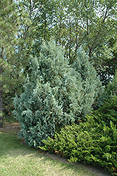 Wichita Blue Juniper (Juniperus scopulorum 'Wichita Blue') at Shelmerdine Garden Center