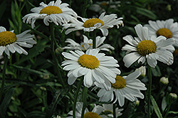 Polaris Shasta Daisy (Leucanthemum x superbum 'Polaris') at Shelmerdine Garden Center