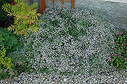 Common Baby's Breath (Gypsophila paniculata) at Shelmerdine Garden Center