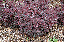 Black Jack Stonecrop (Sedum 'Black Jack') at Shelmerdine Garden Center
