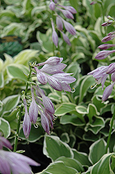 Diamond Tiara Hosta (Hosta 'Diamond Tiara') at Shelmerdine Garden Center