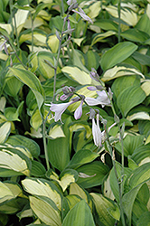 Adrian's Glory Hosta (Hosta 'Adrian's Glory') at Shelmerdine Garden Center
