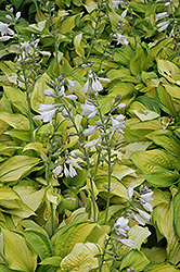 September Sun Hosta (Hosta 'September Sun') at Shelmerdine Garden Center
