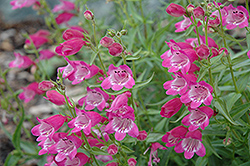Red Rocks Beard Tongue (Penstemon x mexicali 'Red Rocks') at Shelmerdine Garden Center