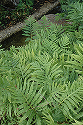Sensitive Fern (Onoclea sensibilis) at Shelmerdine Garden Center