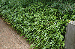 Japanese Woodland Grass (Hakonechloa macra) at Shelmerdine Garden Center