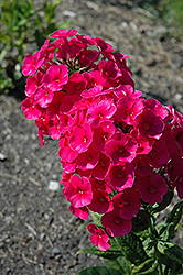 Grenadine Dream Garden Phlox (Phlox paniculata 'Grenadine Dream') at Shelmerdine Garden Center
