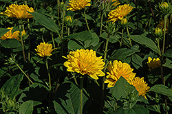 Soleil d'Or Sunflower (Helianthus decapetalus 'Soleil d'Or') at Shelmerdine Garden Center