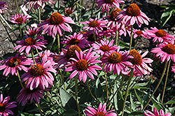 The King Coneflower (Echinacea purpurea 'The King') at Shelmerdine Garden Center