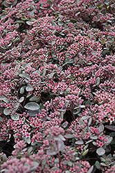 Vera Jameson Stonecrop (Sedum 'Vera Jameson') at Shelmerdine Garden Center